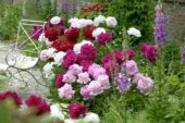 Paeonia mixed