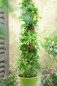 Passiflora Ladybird's Dream