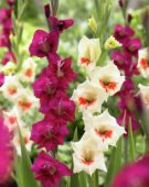 Gladiolus Silvana, Kitty