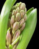 Beautiful Black serie: Hyacinthus