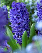 Hyacinthus Marie