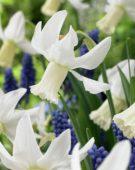 Narcissus Jenny