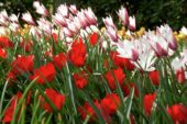 Tulipa Peppermintstick