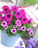 Petunia pink mixed