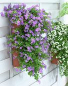 Bacopa in hanging pot