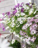 Osteospermum Sunbrella ® mixed