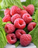 Rubus idaeus Malling Promise syn. Marastar