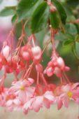 Begonia fuchsiodes Pink