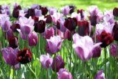 Gemengd tulpen veld