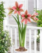 Hippeastrum Exotic Star