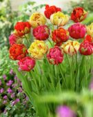 Tulipa Unique ® mix