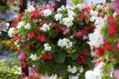 Begonia semperflorens mix