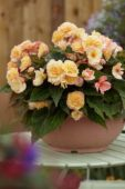 Begonia Buffy