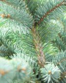 Picea Abies