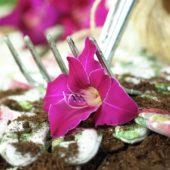 Gladiolus Gwendolyn
