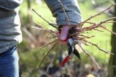 Holding pruned twigs