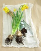 Daffodil flowers and bulbs