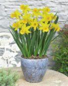 Narcissus Tweety Bird