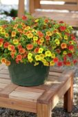 Calibrachoa Can-Can® Terracotta