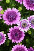 Osteospermum 3D Purple