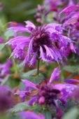 Agastache Grape Nectar ®