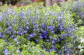 Lobelia erinus Techno® Heat Upright Dark Blue