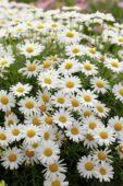 Argyranthemum frutescens Sassy Compact White