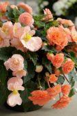 Begonia tuberosa Go-Go Salmon
