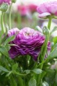 Ranunculus Mache Purple