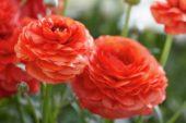 Ranunculus Mache Scarlet