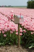 Tulpen in brievenbus