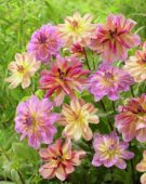 Dahlia Butterfly mix