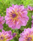 Dahlia Pink Butterfly