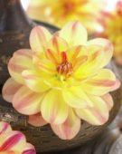 Dahlia Happy Butterfly