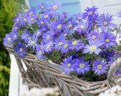 Anemone blanda Blue Shades
