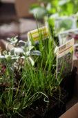 Vegetable seedings