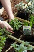 Planting mint