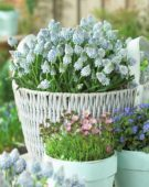Muscari aucheri Ocean Magic ®