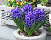 Hyacinthus Blue Trophy