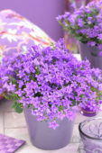 Campanula addenda ® Blue Star