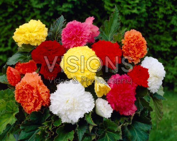 Begonia fimbriata mixed