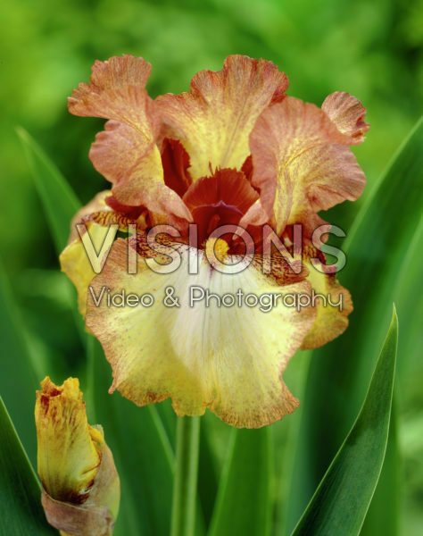 Iris germanica Siva Siva