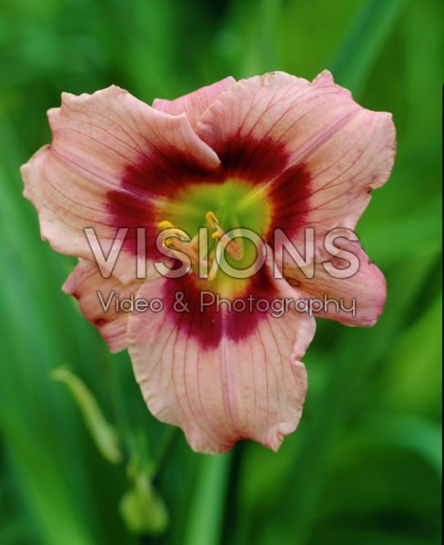 Hemerocallis Angel's Artistry