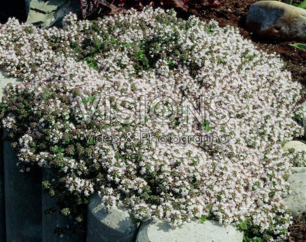 Thymus praecox Vey