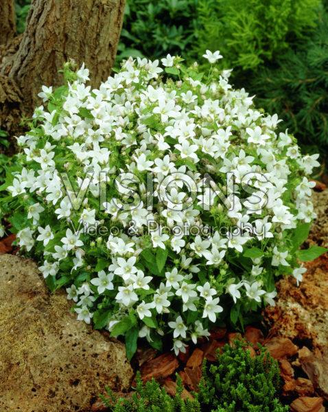 Campanula lactiflora White Pouffe
