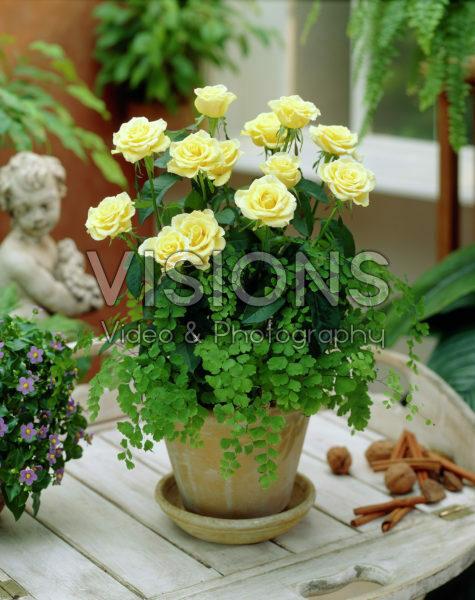 Rosa yellow