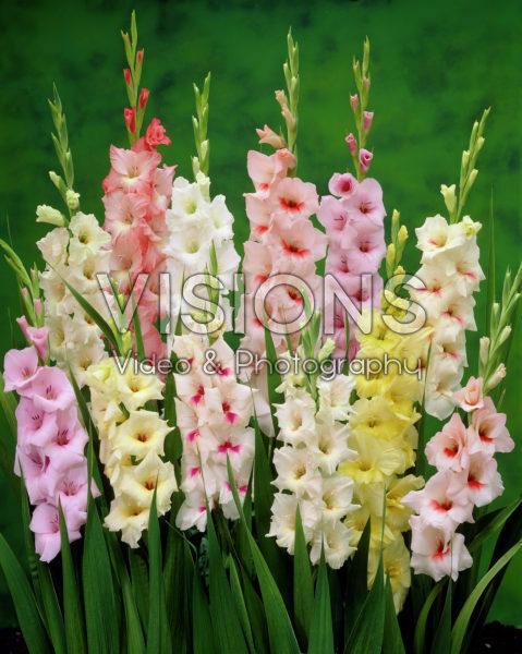 Gladiolus Pastel mixed