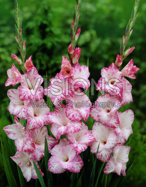 Gladiolus My Love