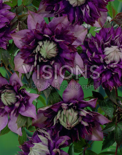 Clematis Royalty