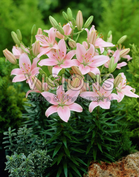 Lilium Chianti